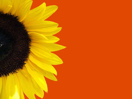Sunflower with orange background