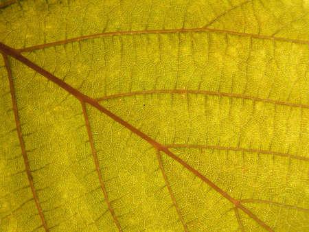healthful: Textura de la hoja