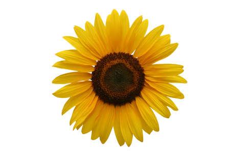 sunflower isolated: Girasole isolati su sfondo bianco  Archivio Fotografico