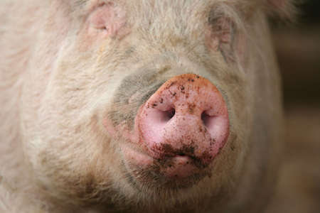 Snout of a pig with focus on the snout photo