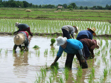 laboring: Group  of women working together in rice filed Stock Photo