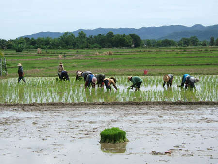 Women working in a rice field in Asia photo