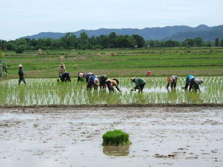 Women working in a rice field in Asia photo