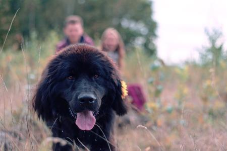 newfoundland: portrait of a dog breed Newfoundland