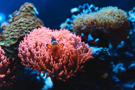Underwater picture of Clownfish, Nemo fish in Anemone Stock Photo
