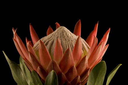 protea flower: King Protea Closeup Side View Isolated on Black Background