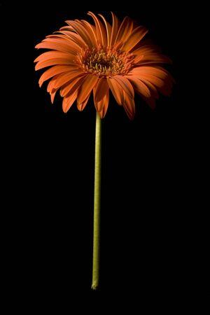 Isolated Orange Vertical Gerbera on Black Background