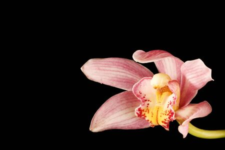 PinkPurple Orchid on Black Background with yellow and white accents. With copyspace left and top. photo