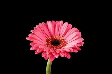 Pink Gerbera on Black Background, with copyspace around flower.