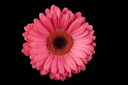 either: Pink Gerbera on Black Background, with copyspace on either side of flower.