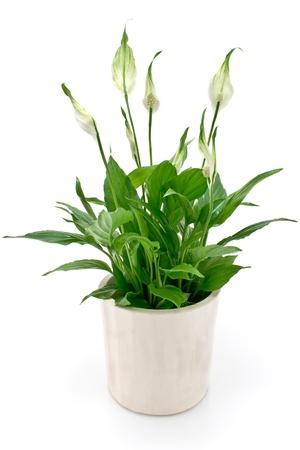 flower pot: Spathiphyllum flower isolated on white