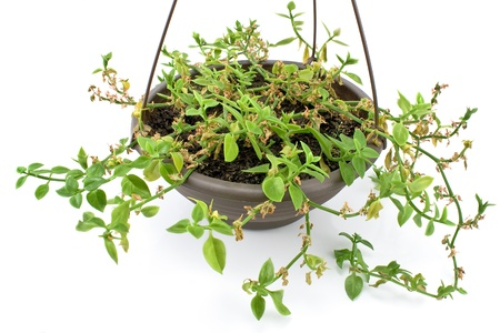 Green plant in hanging pot isolated on white photo