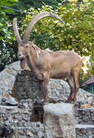 Siberian ibex in zoo photo