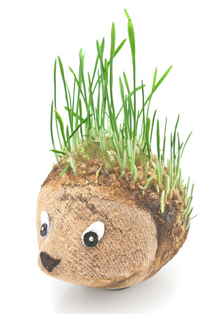 Hedgehog with germinating wheat grass instead of the spines on white photo