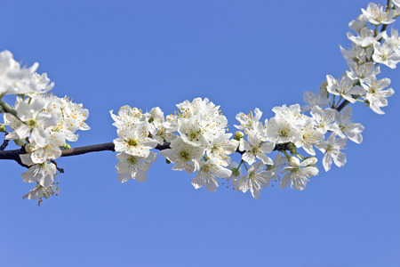 Blooming branch of tree over blue sky photo