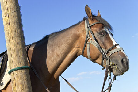 shire horse: Horse head over blue sky Stock Photo