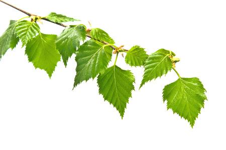 Birch branch with leafs on white background Standard-Bild