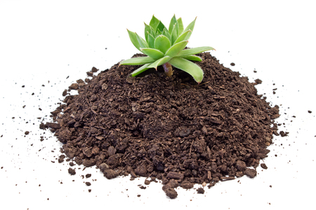 dirt ground: Humus soil pile with houseleek plant isolated on white Stock Photo