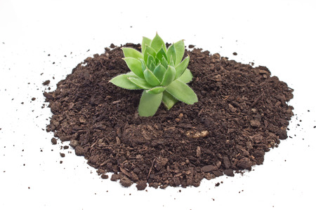earth handful: Humus soil pile with houseleek plant isolated on white Stock Photo