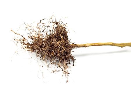 raices de plantas: raíces de las plantas de tomate se cierran para arriba aislado en blanco