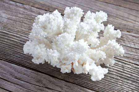 polyp corals: White coral on wooden background