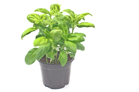 basil herb: Basil herb in plastic pot isolated o white