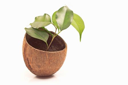 benjamin: Ficus benjamin in coconut pot isolated on white