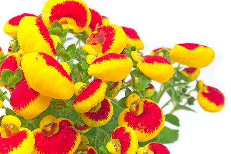 Calceolaria (Ladys purse) flower close up - Calceolariaceae family on white