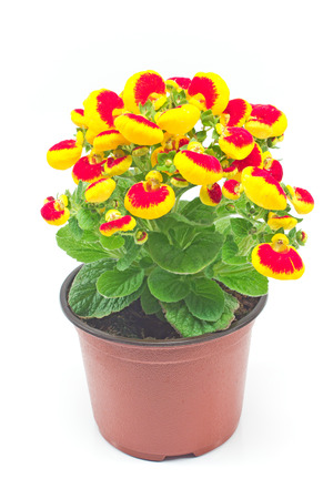 Calceolaria (Ladys purse) flower - Calceolariaceae family isolated on white