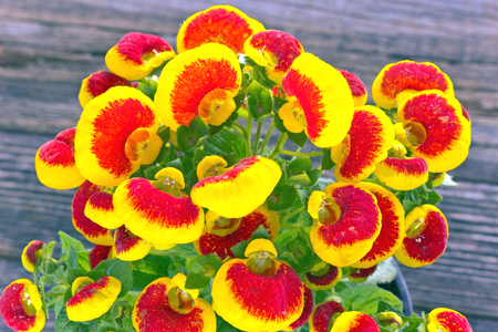 Calceolaria (Ladys purse) flower - Calceolariaceae family on wooden background
