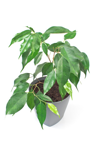 Ficus benjamin plant in pot isolated on white background Stock Photo