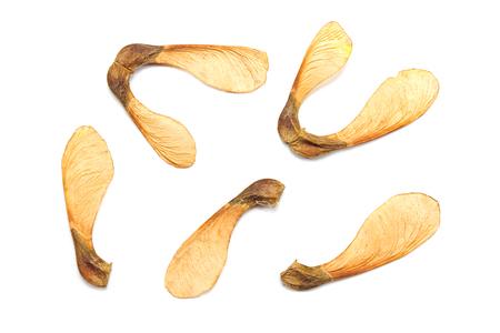Maple tree seeds isolated on white Stock Photo - 84968149