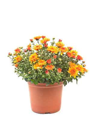 Chrysanthemum flowers isolated on white