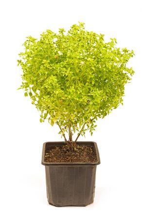Griekse struik basilicum plant geïsoleerd op wit Stockfoto