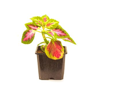 Coleus plant in pot isolated on white
