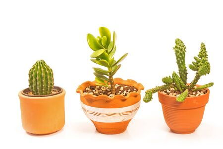 Crassula jade plant and cactus cholla isolated on white