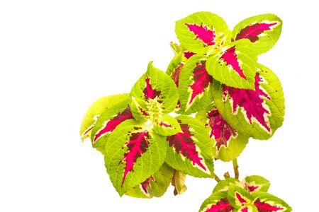 Coleus plant flower close up on white background