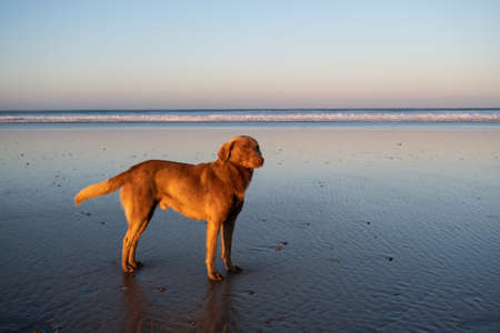 Dog at the coast of Sidi Kaouki, Morocco, Africa. Sunset time. moroccos wonderfully sleepy surf town