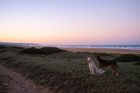 Dogs at the coast of Sidi Kaouki, Morocco, Africa. Sunset time. moroccos wonderfully sleepy surf town Imagens