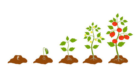 Stage growth plant. Cycle of life tomato plant, root, seed, flower, leaf. Fruiting stages. Red tomato. Yellow flower. Illustration. Isolated on white background