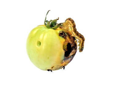 putrefied: fruit vermin-creeping caterpillar canker green tomato Stock Photo