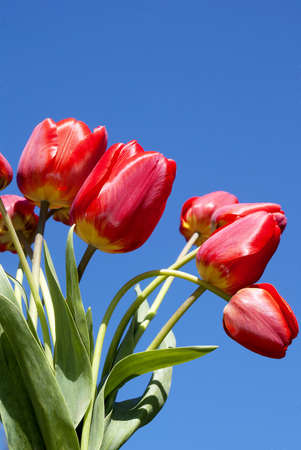 Spring red tulips over blue sky background Stock Photo - 13423377