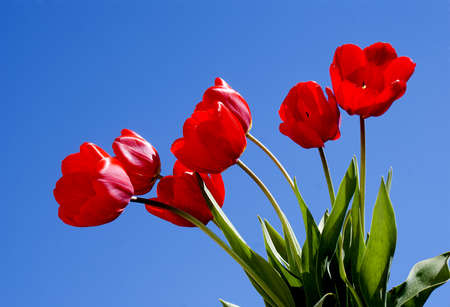 Spring red tulips over blue sky background photo