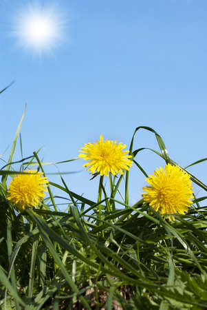 Spring yellow dandelions over green grass photo