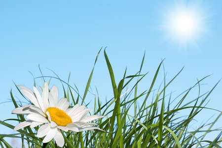 White camomile over green grass under the blue sky photo