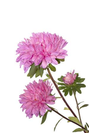 dahlia: Autumn flowers diseño sobre fondos blancos Foto de archivo