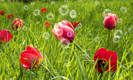 Decorative garden flowers Spring tulips