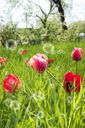 Decorative garden flowers Spring tulips photo