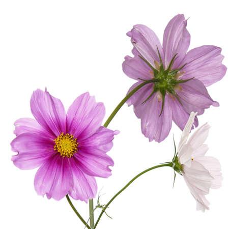 Beautiful pink flowers Flower card Standard-Bild