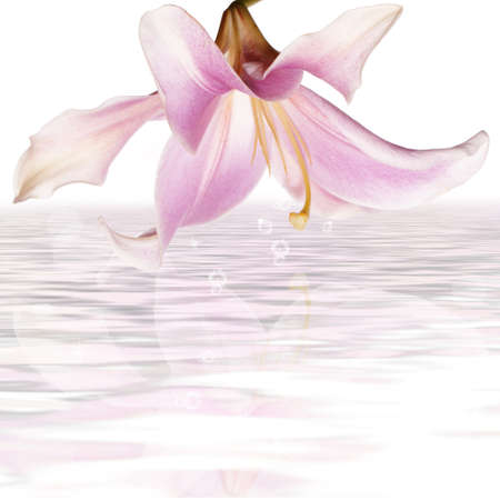 Pink beautiful lily on a water Spa background Stock Photo - 16742247